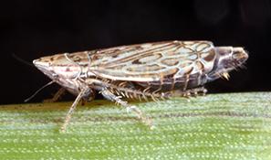 Flexamia abbreviata