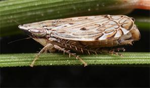 Flexamia flexulosa