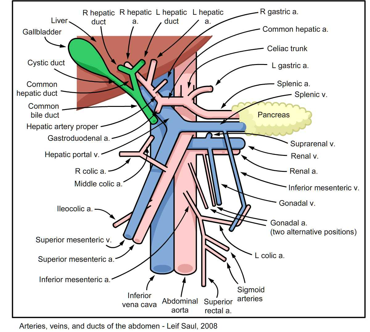 Funky Canine Pelvic Anatomy Vignette Anatomy And Physiology Tissue